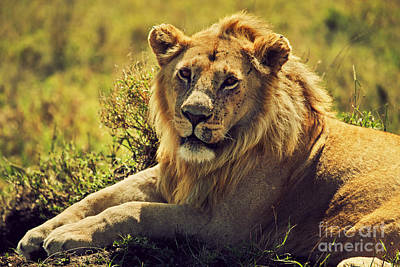 Kenya Photograph - Young Adult Male Lion On Savanna. Safari In Serengeti. Tanzania. Africa by Michal Bednarek