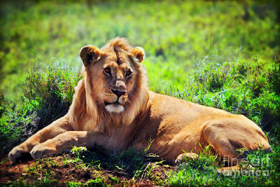 Photograph - Young Adult Male Lion On Savanna. Safari In Serengeti. Tanzania by Michal Bednarek