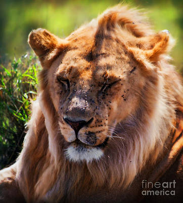 Photograph - Young Adult Male Lion Portrait. Safari In Serengeti by Michal Bednarek