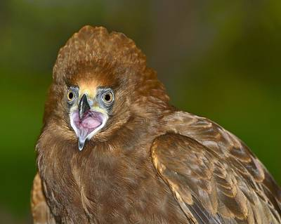 Photograph - Young African Harrier-hawk by Tony Beck