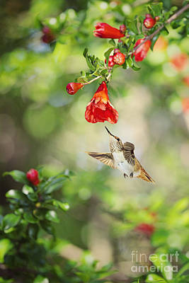 Hummingbird Photograph - Young Allens Hummingbird At Pomegranates by Susan Gary