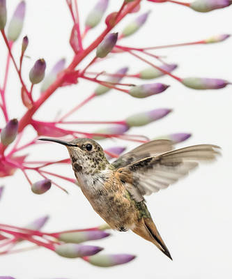 Young Allen's Hummingbird Art Print by Mike Herdering