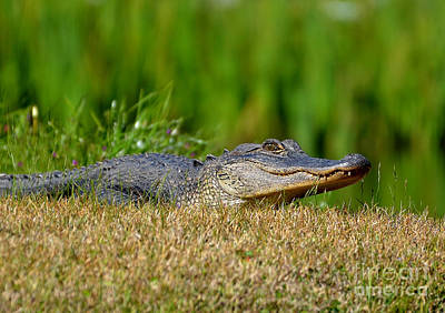 Photograph - Young Alligator Sunbathing by Kathy Baccari