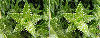 Photograph - Young Aloe In Stereo by Duane McCullough