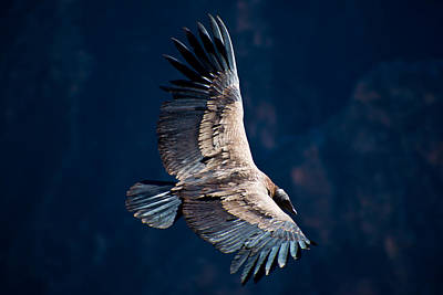 Photograph - Young Andean Condor by Kent Nancollas