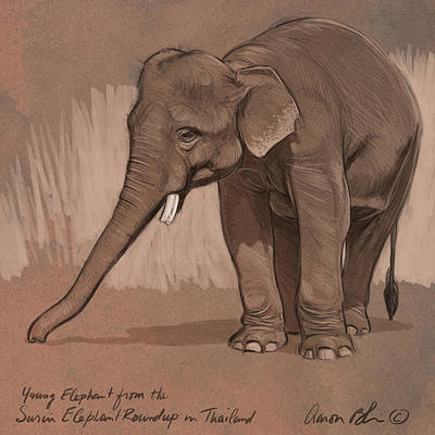 Young Asian Elephant Sketch Art Print