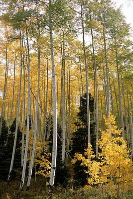 True Grit Photograph - Young Aspens by Eric Glaser
