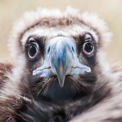 Photograph - Young Baby Vulture Raptor Bird by Alex Grichenko