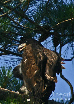 Photograph - Young Bald Eagle by Sandra Clark