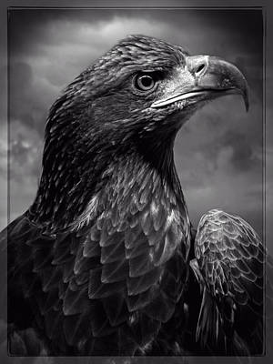 Young Bald Eagle V4 Art Print by F Leblanc