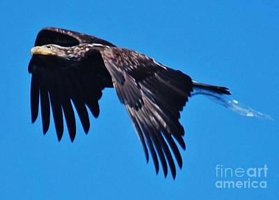 Young Bald Eagle Art Print by William Wyckoff