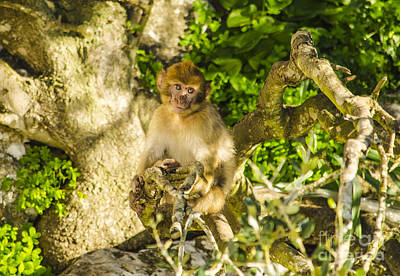 Photograph - Young Barbary Ape by Deborah Smolinske
