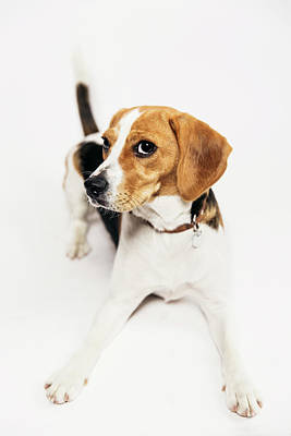 Young Beagle In The Studio Art Print by Kevin Vandenberghe