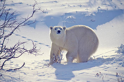 Photograph - Young Bear by Randy Green