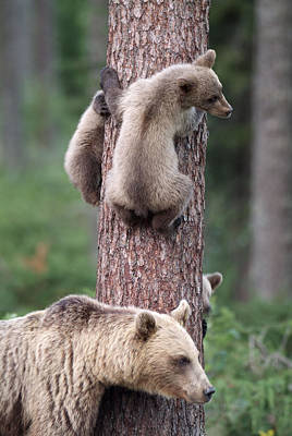 Young Bears Clinging To Tree Art Print