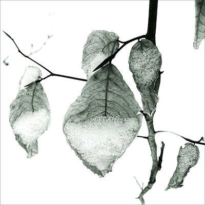Photograph - Young Beech Leaves In The Snow #2 by Louise Kumpf