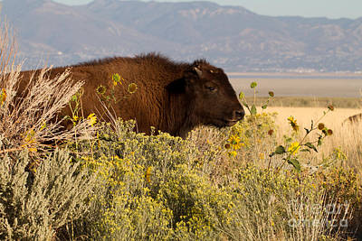 Photograph - Young Bison On Antelope Island by Martha Marks