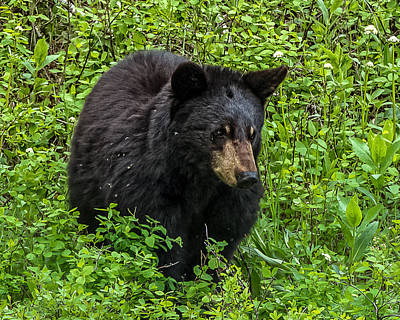 Young Black Bear In Spring Original by Yeates Photography
