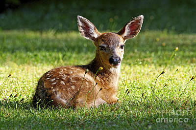Photograph - Young Black-tailed Deer 2a by Sharon Talson