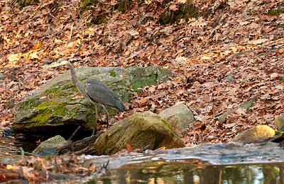 Photograph - Young Blue Heron by Paul Mangold