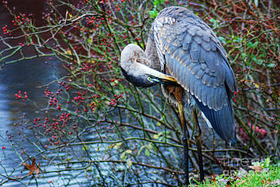 Young Blue Heron Preening Art Print by Paul Ward