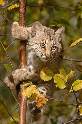 Bobcat Kitten Photograph - Young Bobcat In Tree by Mike Dodak