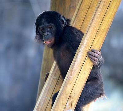 Photograph - Young Bonobo by Richard Bryce and Family