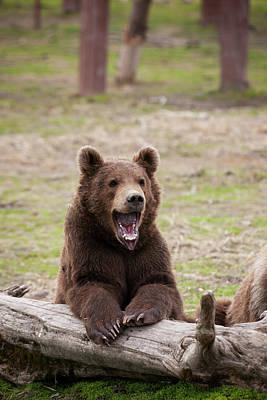 Bear Photograph - Young Brown Bear  Ursus Arctos by Doug Lindstrand