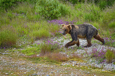 Photograph - Young Brown Bear With Salmon Scrapes by Dan Friend