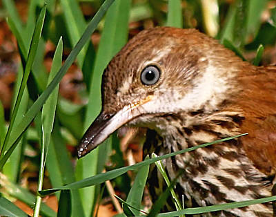 Photograph - Young Brown Thrasher by Ira Runyan