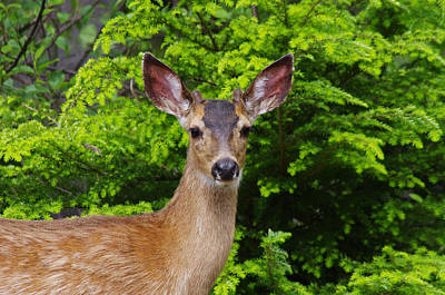 Photograph - Young Buck by Adria Trail