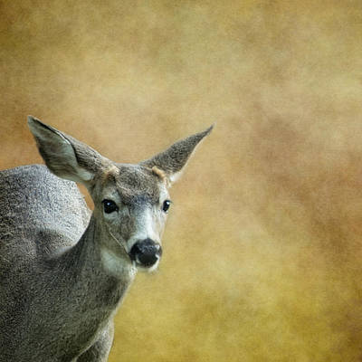 Photograph - Young Buck by Belinda Greb