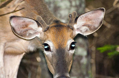 Photograph - Young Buck by Glenn Gordon