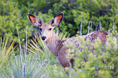 Steven Krull Royalty-Free and Rights-Managed Images - Young Buck by Steven Krull