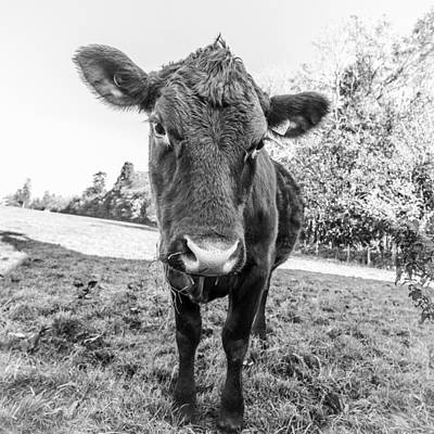 Photograph - Young Calf by Gary Gillette