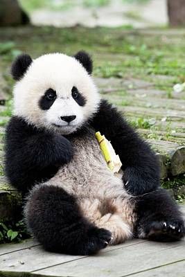 Young Captive Giant Panda Eating Bamboo Art Print by Tony Camacho