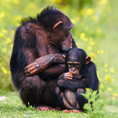 Photograph - Young Chimpanzee With Adult by Nick  Biemans