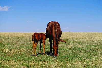 Young Colt And Mother Art Print by Jeff Swan