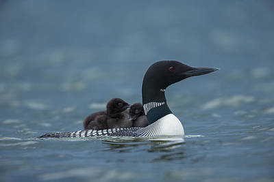 Young Common Loon Chicks Rest Art Print