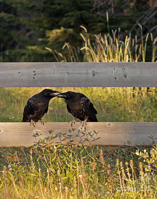 Photograph - Young Common Ravens by NightVisions