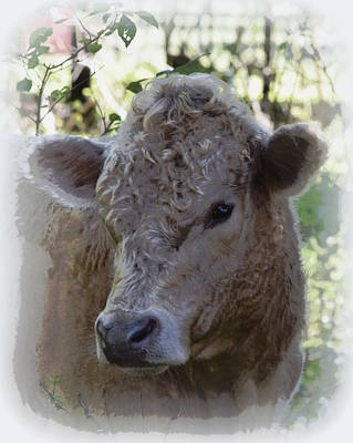 Photograph - Young Cream Colored Bull 1 by Sheri McLeroy