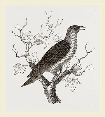 Cuckoo Drawing - Young Cuckoo by Litz Collection