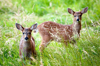 Print featuring the photograph Young Deer by Crystal Hoeveler