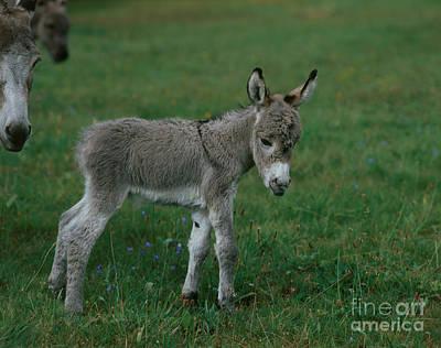 Young Donkey Art Print by Hans Reinhard