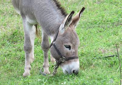 Photograph - Young Donkey by Lucinda VanVleck