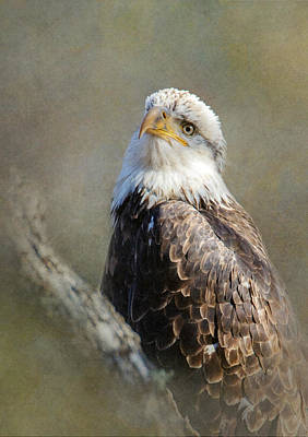 Photograph - Young Eagle by Angie Vogel