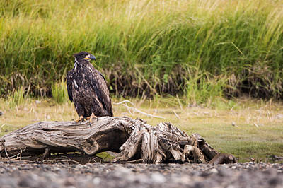 Young Eagle On A River Bed Print by Andres Leon
