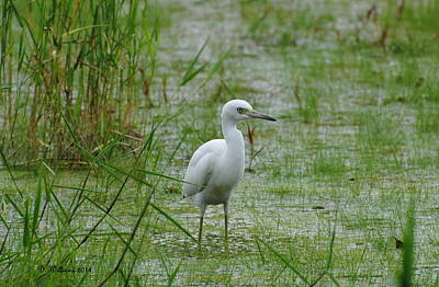 Juvenile Little Blue Heron At Willow Pond Art Print