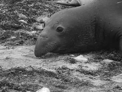Young Elephant Seal Bull Art Print