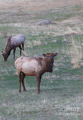 Photograph - Young Elk by Erika Weber